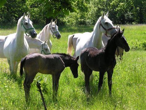 foals lipizzan horse lippizaner horses bay then born grey gray lippizan birth turn google