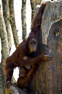 Orangutan and Baby Mama
