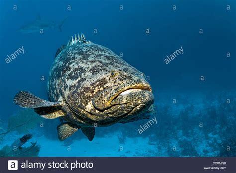 grouper goliath fish jewfish atlantic itajara epinephelus alamy swimming