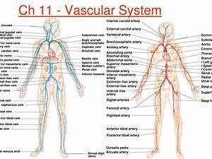 Anatomy Blood Vessels Heart Blood Vessels Diagram Anatomy