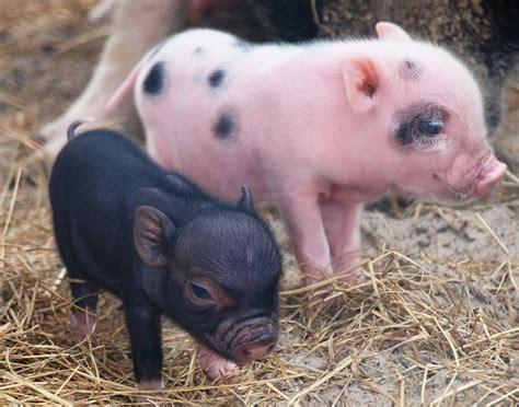 mini pot belly pig miniature pigs glitzyyy chimpis pinterest