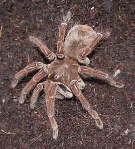 Australian Goliath Bird Eating Spider | www.imgkid.com ...