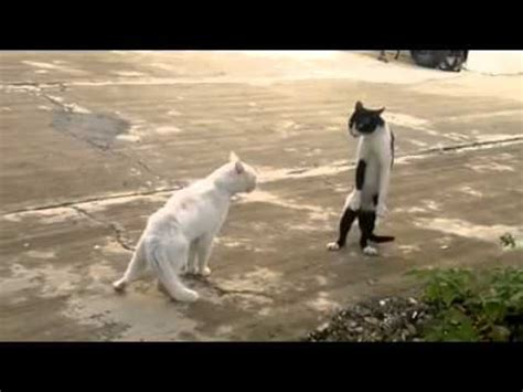Cat Standing On Two Feet by Stand Up Cat On Two Legs Youtube