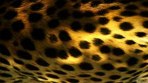 Cheetah Wallpapers – Animal Spot