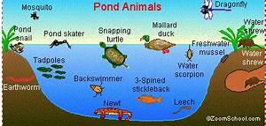 Pond Ecosystem Animals | TutorVista