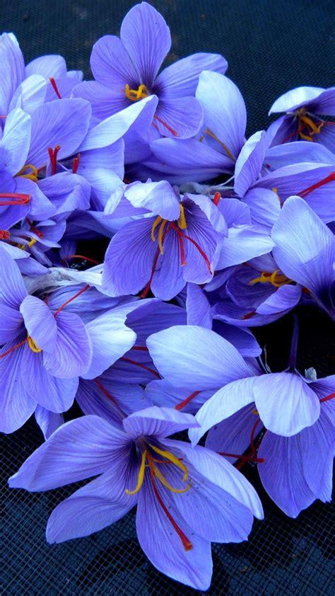 wallpaper saffron  hd wallpaper flowers spring