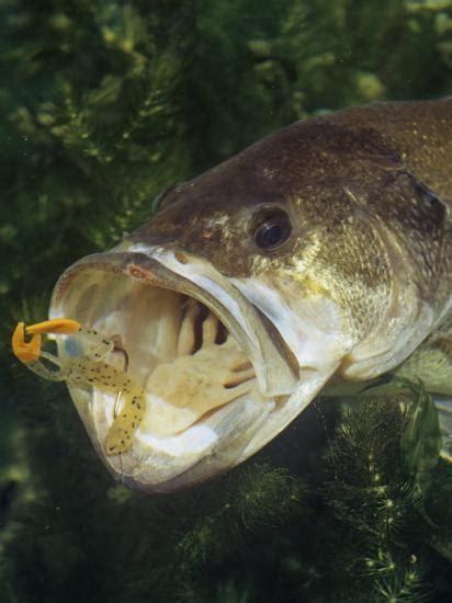 largemouth bass  plastic lure underwater photographic