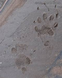 Skunk Tracks – NatureTracking