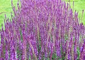 Winterharte Blumen Für Den Garten : ziersalbei arten und sorten winterhart und einj hrige salvien ~ Whattoseeinmadrid.com Haus und Dekorationen
