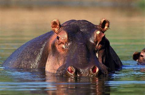 si鑒e social hippopotamus fin de semana animales