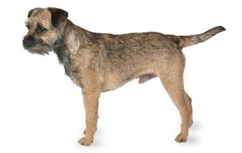 border terrier low shedding dogs small dogs who shed the least dogtime
