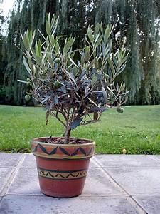 Planter Un Olivier En Pot : quand planter olivier en pot ~ Dailycaller-alerts.com Idées de Décoration