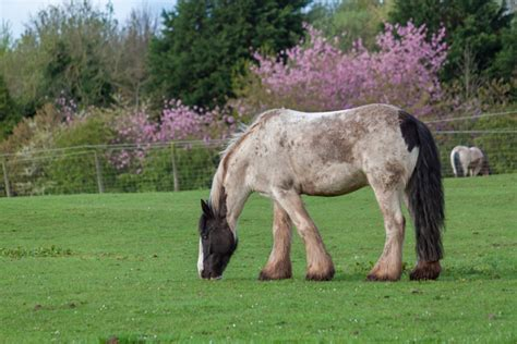 shire horse gentle breed giant breeds petguide much known does cost weigh