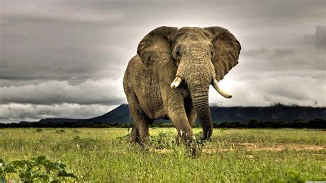 Elephants Animals African Nature Grass Savannah