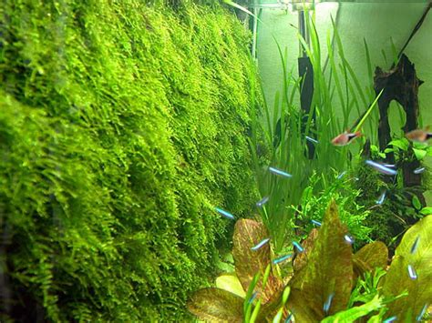 moss live aquarium aquatic plant for fish tank flora aquatica freshwater
