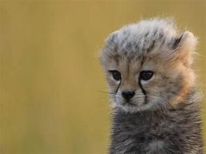 Baby cheetah wallpapers | Baby Animals