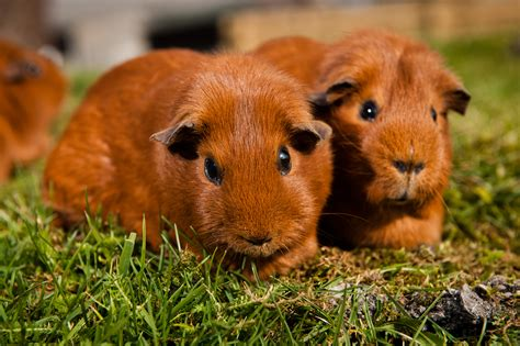 Guinea Pigs Dreams Meaning Interpretation And Meaning