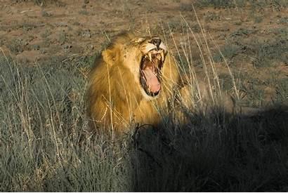 South Safari Madikwe Lion African Lions Africa
