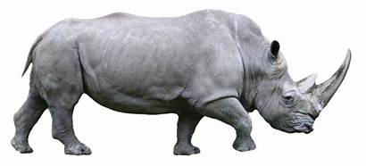 Rhino Animals Animal Rhinos Rhinoceros Badak Horn