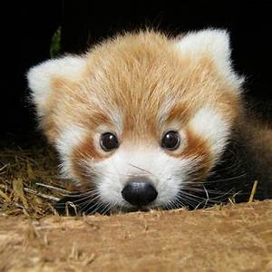 Baby Red Panda | All things Kawaii | Pinterest | Baby red ...