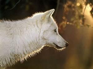 White Wolf - Wolves Wallpaper