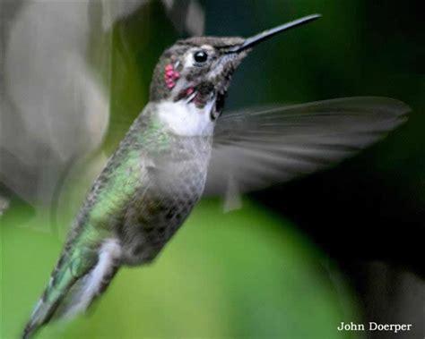 hummingbird migration news fall 2015