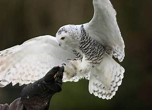 Snowy Owl 5k Retina Ultra HD Wallpaper and Background ...