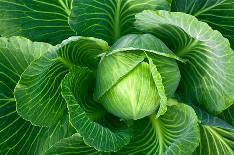 cabbage leaves edible information on growing cabbage plants in the garden