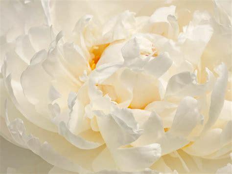white peonies  blooming season