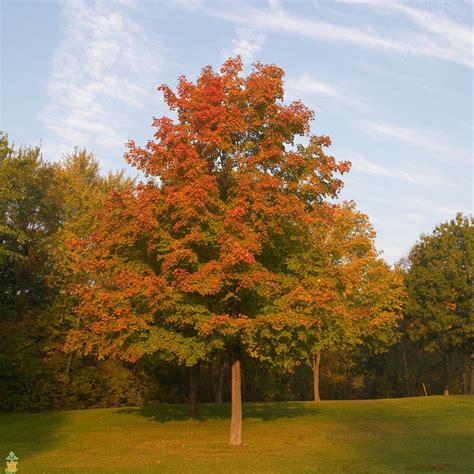 types of maple trees red maple trees the planting tree