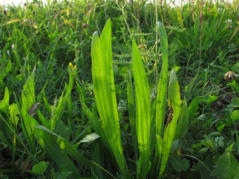 spitzwegerich heilpflanzenwissen heilpflanzenwissen