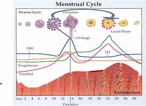 Medical Science: Normal Menstrual Cycle