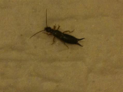 Hilfeee Was Für Ein Insekt Ist Das?gemeiner Ohrenkneifer