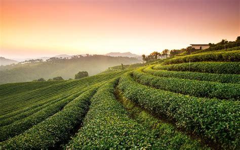 tea plantation landscape wallpapers hd wallpapers id