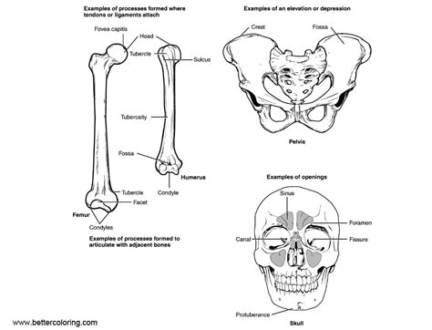 anatomy of a bone coloring anatomy coloring pages human bone structure free