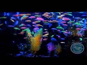 GloFish these amazing freshwater fish actually Glo Their