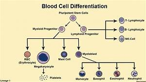 Cells Of The Immune System - Immunology