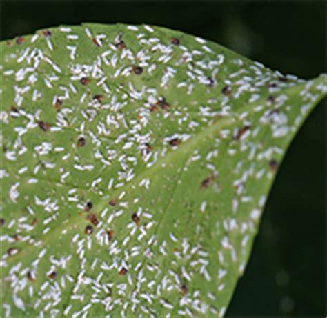 sooty mold plants viettes views