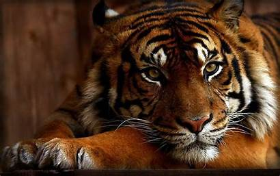 Tiger Wallpapers Background 1st