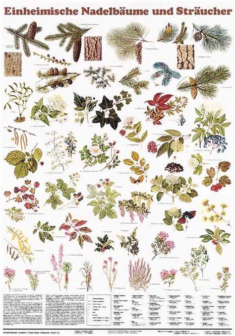 Einheimische Pflanzen In Deutschland by Heimische Nadelb 228 Ume Str 228 Ucher Poster Baumarten Im