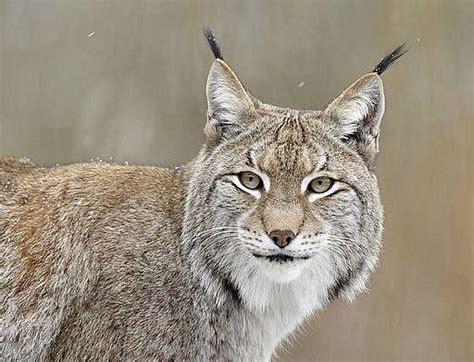 Eirāzijas lūsis - Latvijas mežu lauva. - Spoki