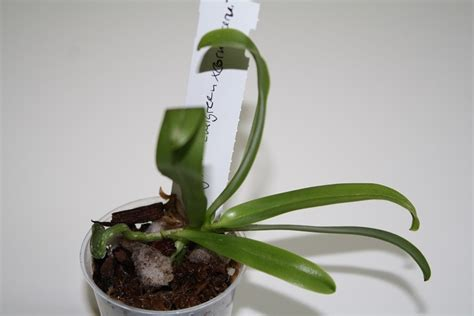 Orchideen Kindel Einpflanzen by Antworten Auf Die H 228 Ufigsten Fragen Zu Ablegern An