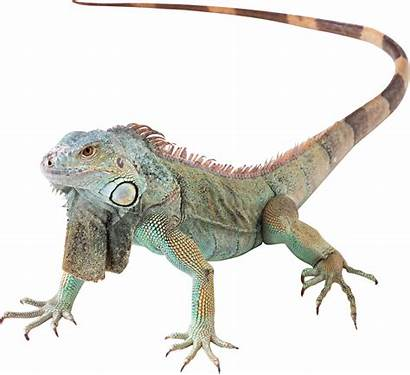 Iguana Lizard Vertebres Animaux Iguane Tubes Hippo