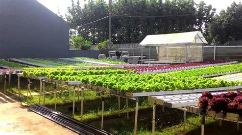 kebun hidroponik  greenhouse milik pak kunto youtube