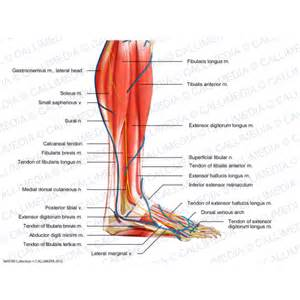 Foot Muscles and Nerves