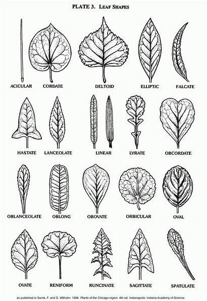 Leaf Sycamore Template Coloring Trees Popular