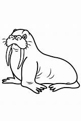 Walrus Coloring Drawing Draw Step Printable Animal Children Arctic Drawings Youtu Sea Walr sketch template