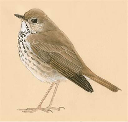 Birds Drawing Thrush Bird Draw Hermit Inside