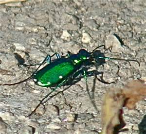 Iridescent Green Insect - Cicindela sexguttata - BugGuide.Net