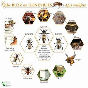 Lifecycle of a honey bee | SCIENCE-----Bugs, Spiders ...